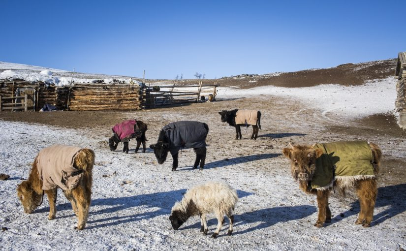 How we face the Mongolian dzud and its consequences